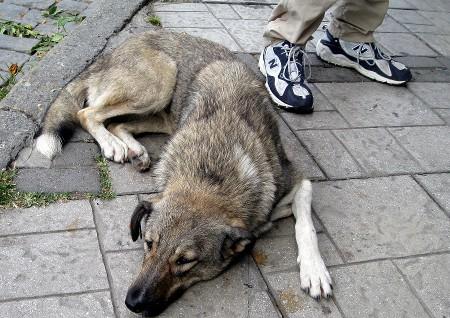 The Behavior of Turkish Street Dogs